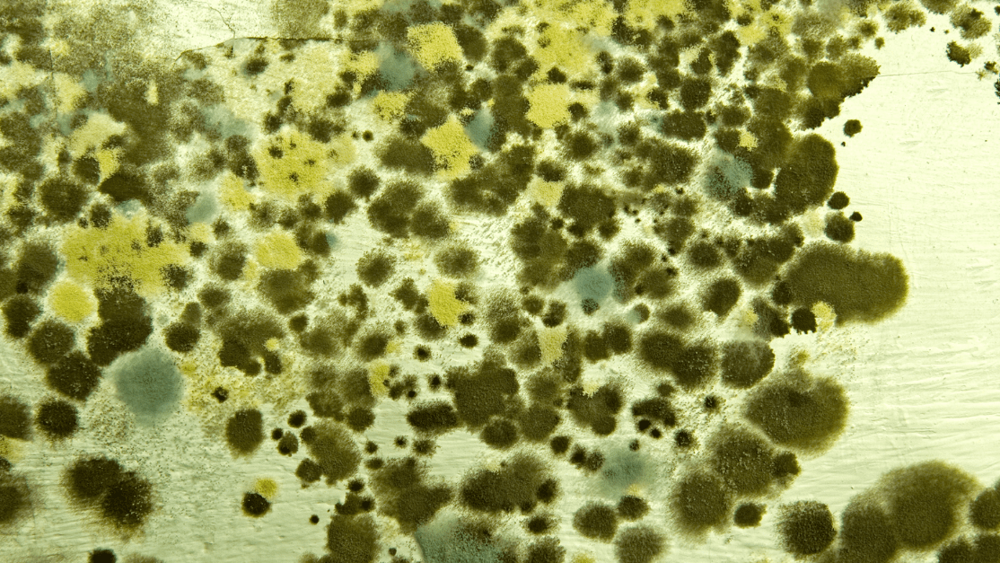 Alternaria dark green spotted mold, another common household mold