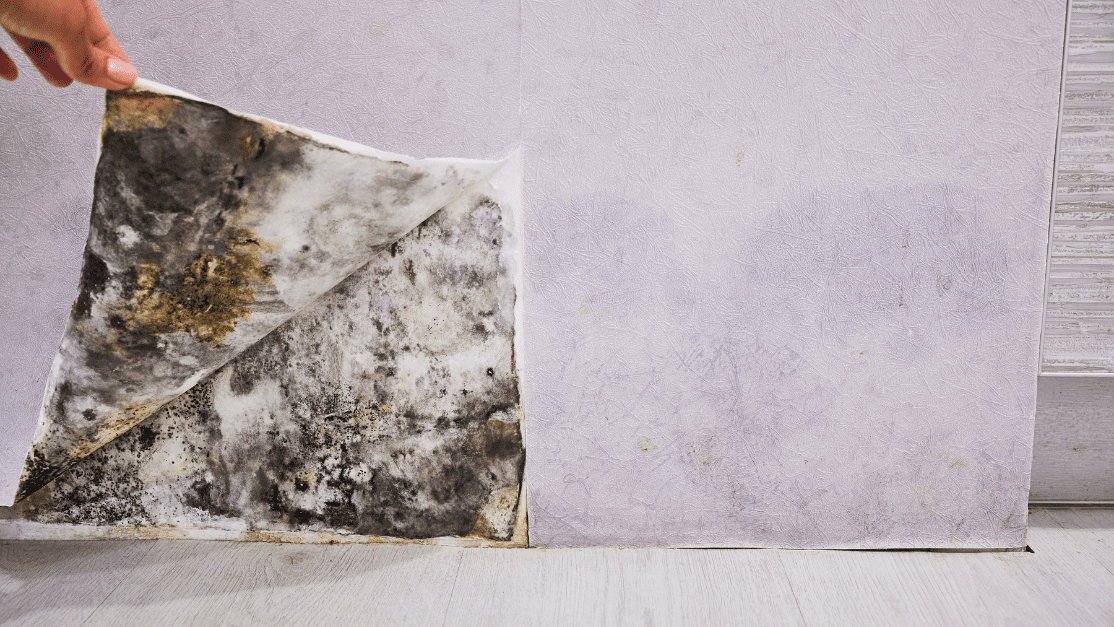 black mold a common household mold, will commonly grow behind walls